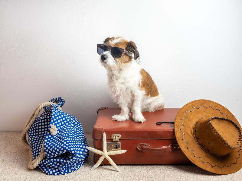 Dog with sunglasses on suit case